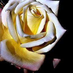 """фото """"""""Rose..."""""""""""