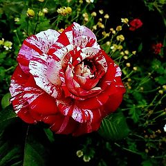 "фото """"Another""... Rose..."""
