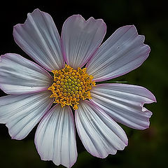 "фото ""A simple Flower..."""""