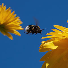 "photo ""Flight of the Bumblebee"""