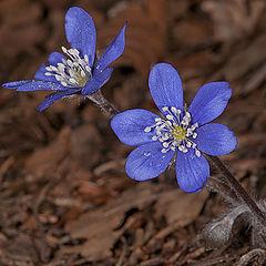 """фото """"Hepatica nobilis"""""""