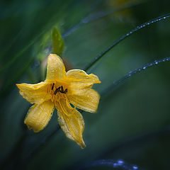 "фото ""Солнечный цветок дождливого лета"""