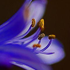 "фото ""Nile Lily"""