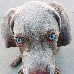 """фото """"Weimaraner Pup"""""""
