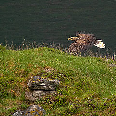 "фото ""White-tailed eagle"""