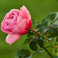 "photo ""November Rose"""