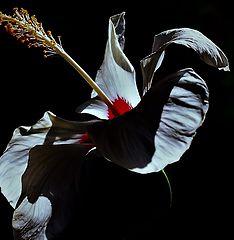 "photo """"White Hibiscus"""""