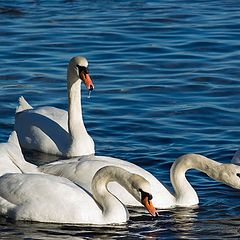 "фото ""5 Лебеди"""