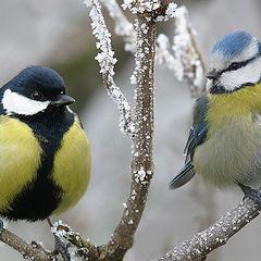 """фото """"Что более красиво - большая синица или лазоревка?"""""""