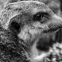 "photo ""Suricata suricatta"""