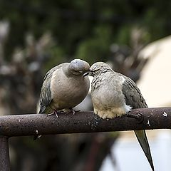 """photo """"Dove in Love"""""""