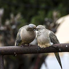 "фото ""Dove in Love"""
