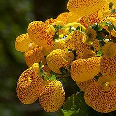 "фото ""Calceolaria"""