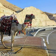 "photo ""Camel"""