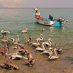 "photo ""The time to feed the pelicans"""