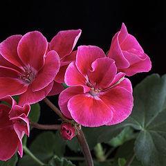 """photo """"Geranium"""""""