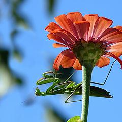 "фото ""Богомол Tenodera aridifolia, самка"""