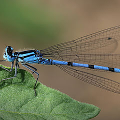 """photo """"Blue dragonfly"""""""
