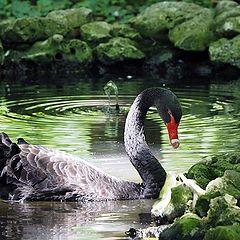"фото ""The Black Swan"""