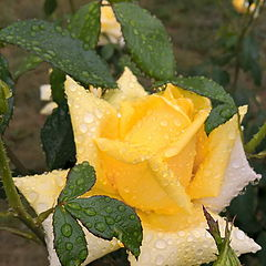 "фото ""Yellow drops of rain_3"""