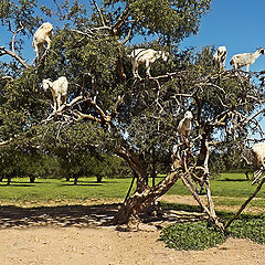 "photo ""Goat tree"""