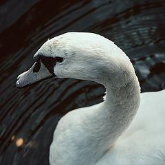 "photo ""swan"""