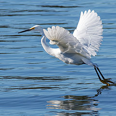 "photo ""Great Egret"""