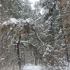 """фото """"Зима прошлась по лесу..."""""""