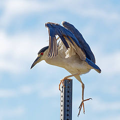 "photo ""Black-crowned night heron"""