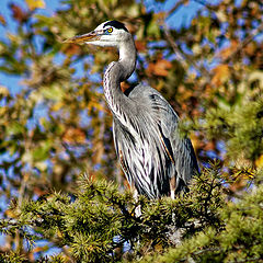 "photo ""Great blue heron"""