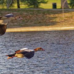 """photo """"Egyptian Goose"""""""