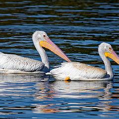 "photo ""American Pelican"""