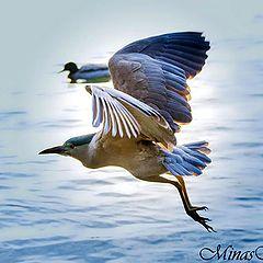 "photo ""Black-crowned night heron"""