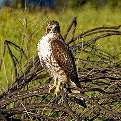 "фото ""Red tailed hawk"""