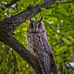 "photo ""Long-eared owl"""