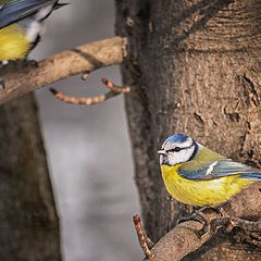 "photo ""Tits birds"""