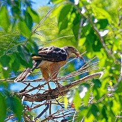 """фото """"Cooper's Hawk"""""""