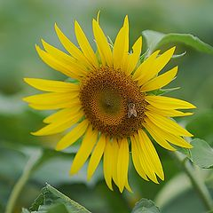 "фото ""sunflower"""