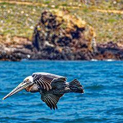 """photo """"Pelican"""""""
