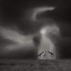 "фото ""Drei Giraffen"""