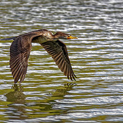 "photo ""Double-crested cormorant"""