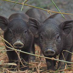 """фото """"Вьетнамские свинки"""""""