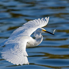 """photo """"Egret"""""""