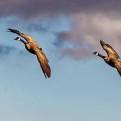 "photo ""Ganadian geese"""