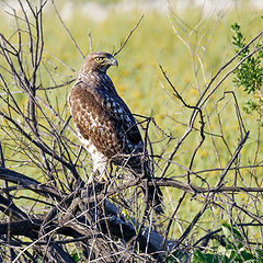 "photo ""Red tail hawk"""