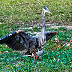 "photo ""Great blue heron"""