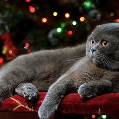 "photo ""Christmas kitty photo"""