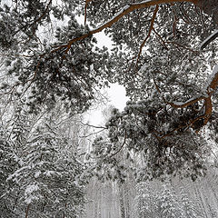 """фото """"Зимнее лесное царство в Уральских горах"""""""