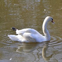 "photo ""лебедь плывет по озеру lebed' plyvet po ozeru"""