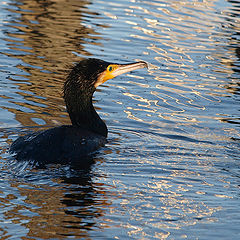 "photo ""Cormorant Out of the water"""